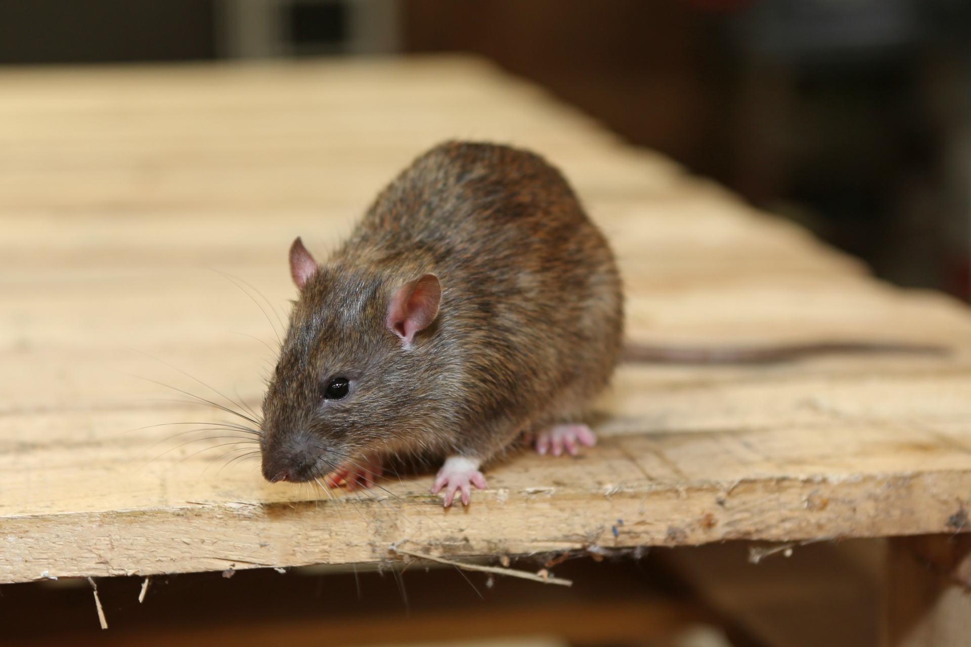 Rat Infestation, Pest Control in Southgate, N14. Call Now 020 8166 9746