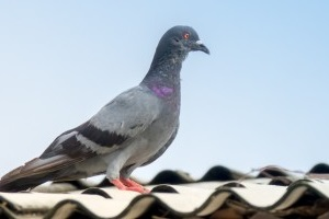 Pigeon Pest, Pest Control in Southgate, N14. Call Now 020 8166 9746