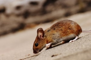 Mice Control, Pest Control in Southgate, N14. Call Now 020 8166 9746